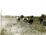 Cattle on the Cyrus S. Avery farm, Tulsa, Oklahoma